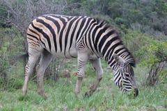 Zebra in beweging terwijl het weiden Royalty-vrije Stock Foto