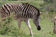 Zebra in Bewegung Lizenzfreie Stockfotografie