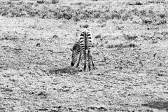 Zebra in bianco e nero del bambino in Serengeti Fotografia Stock