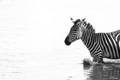 Zebra in bianco e nero nell'acqua Fotografia Stock
