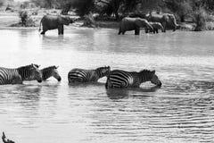 Zebra in bianco e nero nell'acqua Immagini Stock
