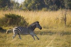 Zebra bieg Zdjęcia Royalty Free