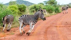 Zebra biega przez drogę obraz royalty free