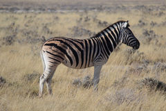 Zebra with a big scar in its back eating alone in the Etosha National Park Stock Image