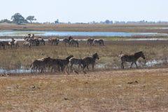 Zebra bij Chobe-Rivier Royalty-vrije Stock Foto's