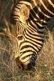 Zebra bij dageraad Stock Foto's