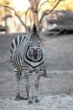 Zebra bij de Dierentuin Royalty-vrije Stock Fotografie