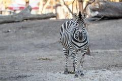 Zebra bij de Dierentuin Stock Afbeelding