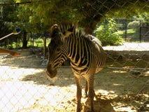 Zebra bij de Dierentuin Royalty-vrije Stock Foto's