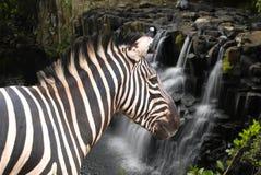 Zebra bij de waterval Stock Foto's