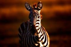 Zebra bij zonsondergang Stock Afbeeldingen