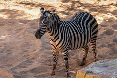 Zebra in Bioparc in Valencia Spain op 26 Februari, 2019 stock fotografie