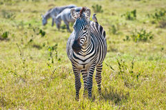 Zebra & Bird. A zebra looking at our safari jeep Royalty Free Stock Images