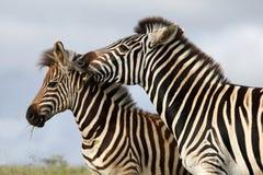 Zebra-Bissen stockbild