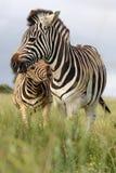 Zebra-Bissen stockfotos