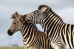 Zebra Bite Stock Image