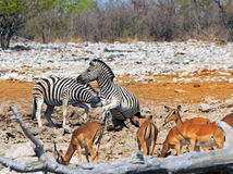 Zebra biting another zebra at a dry waterhole in Etosha Stock Image