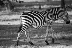 Zebra in black and white. Stark black and white stripes frozen in motion as a common zebra meanders along a path in Royalty Free Stock Images