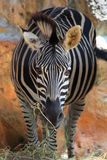 Zebra in black and white tone Royalty Free Stock Photo