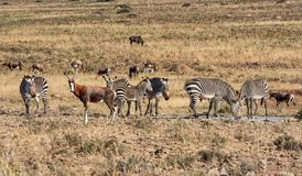 Zebra and blesbok. At a water hole in Southern African savanna Stock Image