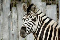 Zebra blisko ogrodzenia obraz royalty free