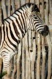 Zebra blisko ogrodzenia zdjęcia stock