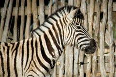 Zebra blisko ogrodzenia zdjęcie stock