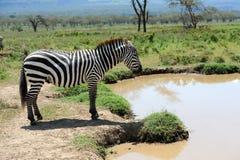 Zebra blisko wody w Afryka Zdjęcia Royalty Free