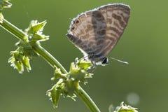 Zebra Blue butterfly Leptotes plinius. Feeding in the morning Stock Photo