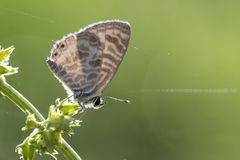 Zebra Blue butterfly Leptotes plinius. Feeding in the morning Royalty Free Stock Photos