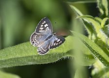 Zebra Blue butterfly Leptotes plinius stock image