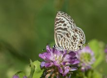 Zebra Blue butterfly Leptotes plinius. Feeding in the morning Royalty Free Stock Image
