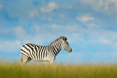 Zebra with blue storm sky with clouds. Burchell`s zebra, Equus quagga burchellii, Nxai Pan National Park, Botswana, Africa. Wild. Animal on the green meadow stock photos