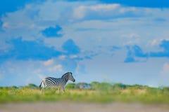 Zebra with blue storm sky with clouds. Burchell`s zebra, Equus quagga burchellii, Mana Pools, Zimbabwe, Africa. Wild animal on th. E green meadow. Wildlife stock photo