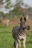 Zebra bonita Imagem de Stock Royalty Free