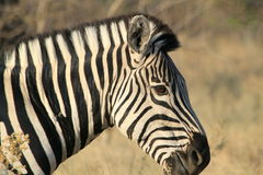 Zebra in Botswana. Close up of Zebra in Botswana, Africa royalty free stock images