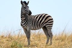 Zebra in Botswana Royalty-vrije Stock Afbeelding