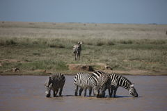 Zebra Botswana Africa savannah wild animal picture. Zebra Botswana Africa wild animal picture Stock Image