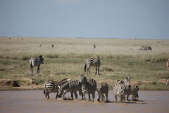 Zebra Botswana Africa savannah wild animal picture. Zebra Botswana Africa wild animal picture Royalty Free Stock Photo