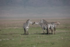 Zebra Botswana Africa savannah wild animal picture. Zebra Botswana Africa wild animal picture Stock Images