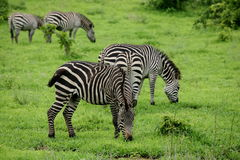 Zebra Botswana Africa savannah wild animal picture. Zebra Botswana Africa wild animal picture Royalty Free Stock Images