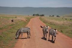 Zebra Botswana Africa savannah wild animal picture. Zebra Botswana Africa wild animal picture Royalty Free Stock Photography