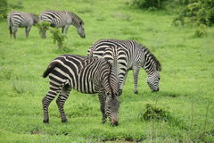 Zebra Botswana Africa savannah wild animal picture. Zebra Botswana Africa wild animal picture Royalty Free Stock Photos