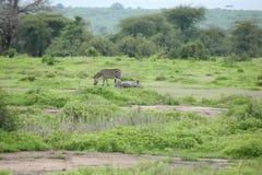 Zebra Botswana Africa savannah wild animal picture. Zebra Botswana Africa wild animal picture Stock Photo