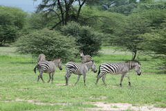 Zebra Botswana Africa savannah wild animal picture. Zebra Botswana Africa wild animal picture Stock Photos