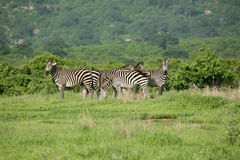 Zebra Botswana Africa savannah wild animal picture. Zebra Botswana Africa wild animal picture Royalty Free Stock Image