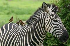 Zebra Botswana Africa savannah wild animal picture. Zebra Botswana Africa wild animal picture Stock Photography