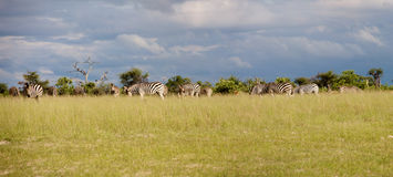 Zebra in Botswana. Group of Zebra eating grass in the Moremi Nature Reserve in Botswana Royalty Free Stock Photography