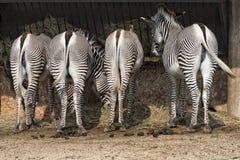 Zebra bottom Stock Photos
