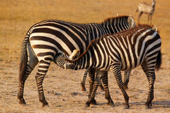 Zebra Breastfeeding - Safari Kenya Royalty Free Stock Photo
